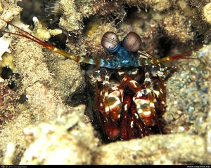 Mantis Shrimp by Jim Christensen